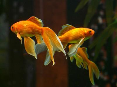 Концентрация внимания у золотых рыбок — 9 секунд