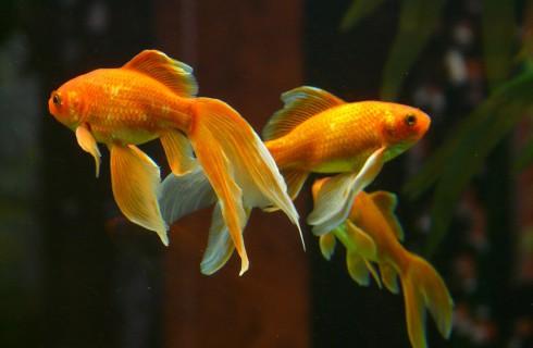 Золотые рыбки внимательнее людей