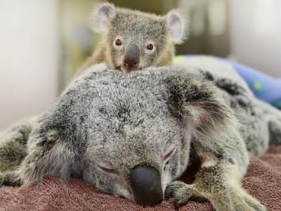 Семейство коал: Фантом и Лиззи