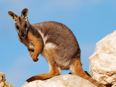 Леворукость кенгуру удивила всех