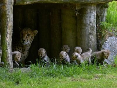 Семь гепардов