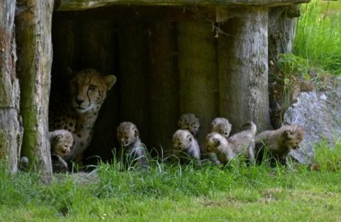 «Семь гномов» родились в зоопарке Мюнстера