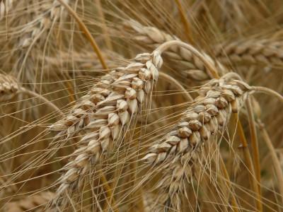 Зерновые культуры способны предотвратить сахарный диабет