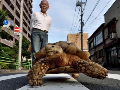 Гигантская африканская черепаха — Хисао Митани и Бон-тян