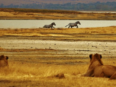 Львы в Руанде
