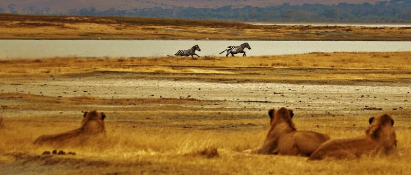 Львы снова населят Руанду