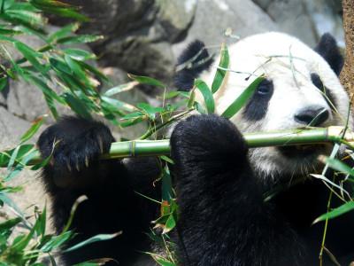 Дикие панды