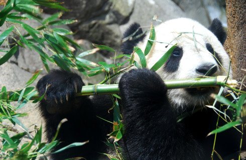 Лень позволит выжить на одном бамбуке