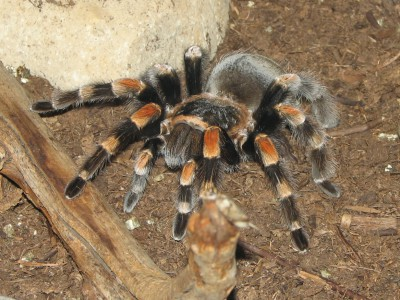 Новых видов  пауков стало больше. Тарантул