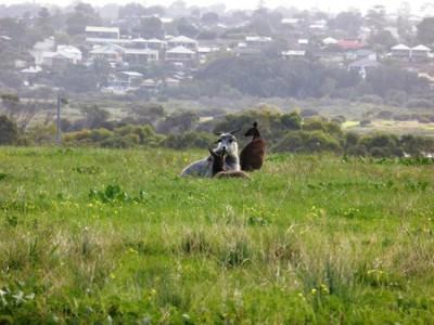 Дружба козы и кенгуру