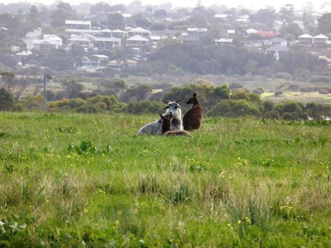 Коза переживает кризис личности