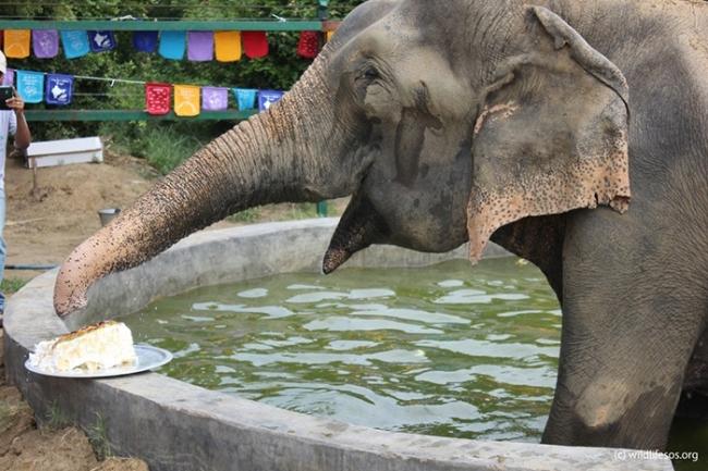 Слон Раджу отпраздновал уникальный юбилей