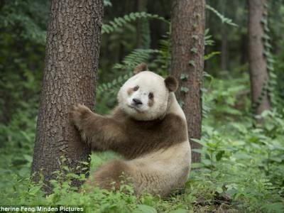 Коричневая панда  Ци Лай
