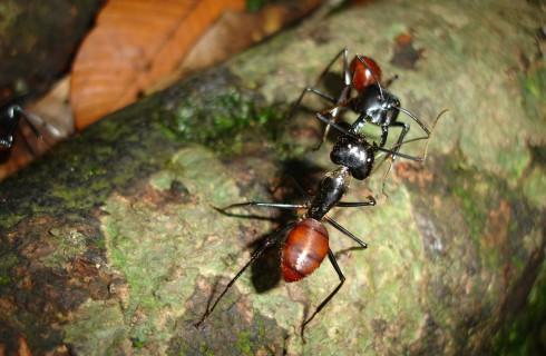 Муравьи не могут жить без перекиси водорода