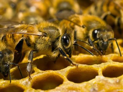 Вымирание пчел