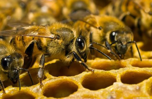 Пчелы могут исчезнуть через 20 лет