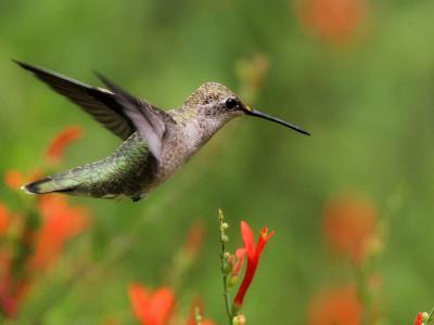 Колибри гнездятся рядом с ястребами