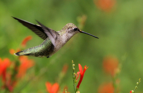 Колибри – самая хитрая птица