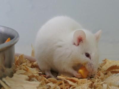 Вакцина от диабета  уже проходит исследование на животных