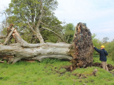 Корни дерева бука скрывали скелет