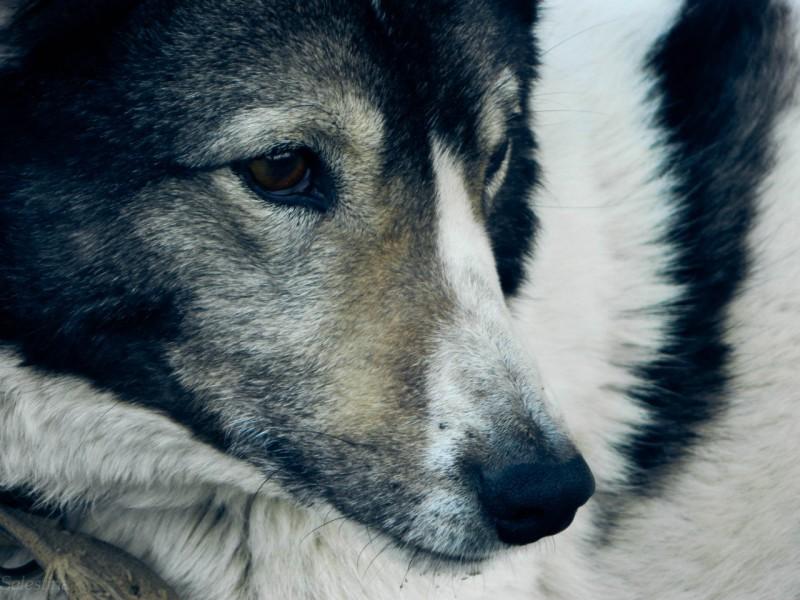 Домашние собаки пришли из Непала