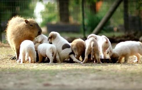Чизкейк может выращивать щенков