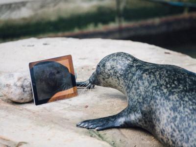 Пара тюленей отдает предпочтение Apple
