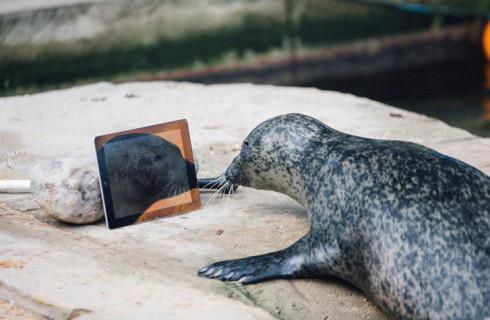 Тюлени отдают предпочтение Apple