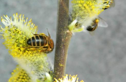Растения «подсаживают» пчел на кофеин