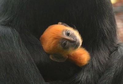 Лангур Франсуа — редкий вид