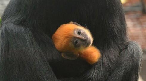 Редкая обезьянка появилась на свет