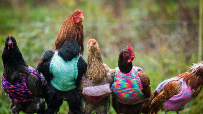 А вы связали своим курам свитер?