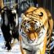 Тигр Амур и козел Тимур получили свои странички в Facebook и Instagram