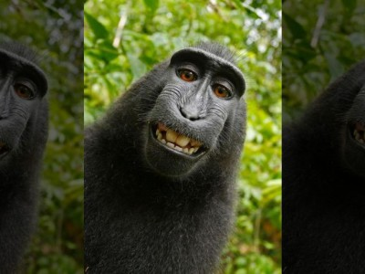 Права обезьяны на селфи