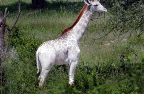 Необычный жираф обнаружен в Танзании