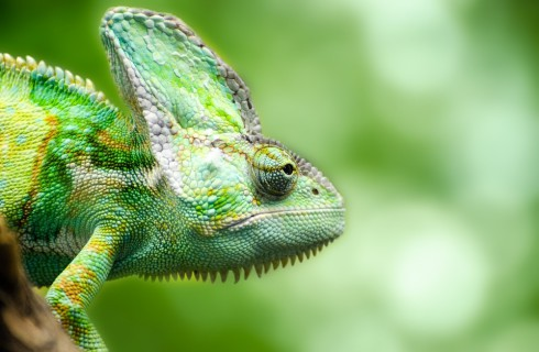 Исследователи измеряли скорость движения языка хамелеона