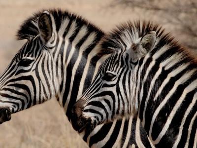 Полосы зебры