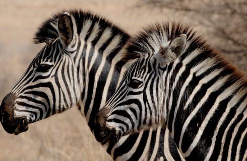 Полоски зебре нужны не для маскировки