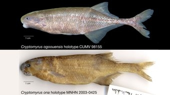 Рыба Cryptomyrus