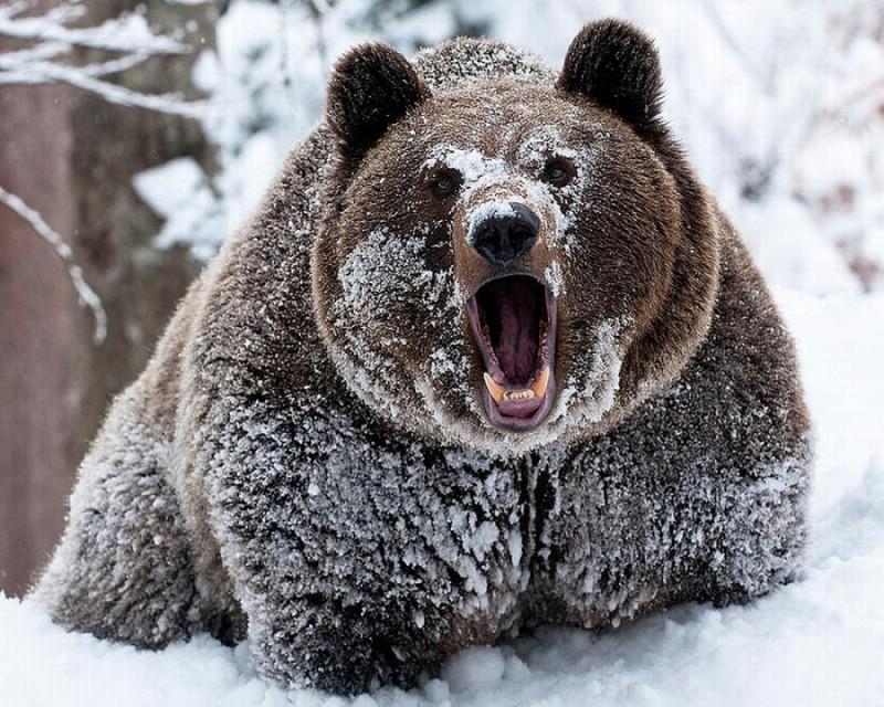 Микробы защищают медведей