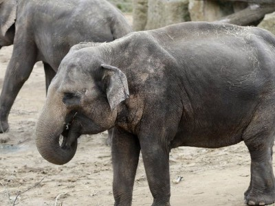 Бумага из навоза слона из зоопарка в Праге
