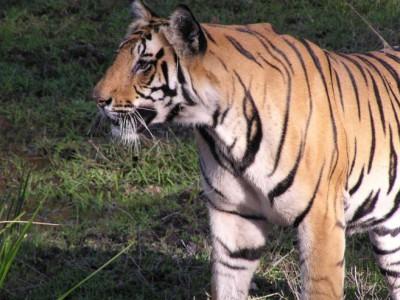 Численность тигров увеличивается