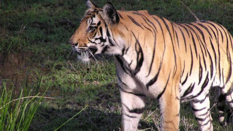 Тигры не намерены сдаваться