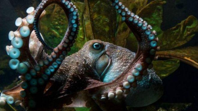 Осьминог сбежал из океанариума в Новой Зеландии
