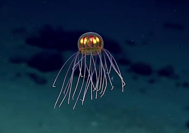 Инопланетные медузы живут в Марианской впадине