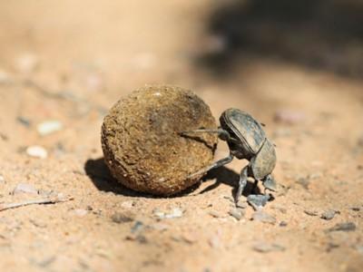 Навозные жуки запоминают звездное небо