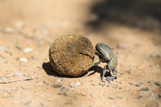 Навозные жуки ориентируются по фотографиям Млечного пути