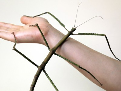 Огромное насекомое Phryganistria chinensis Zhao