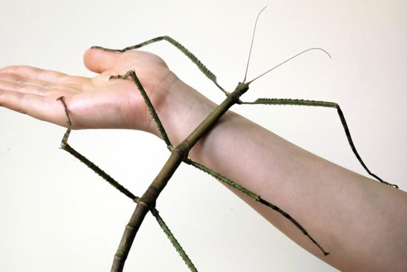В Китае было поймано огромное насекомое