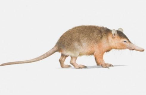 Ядовитые млекопитающие жили рядом с динозаврами